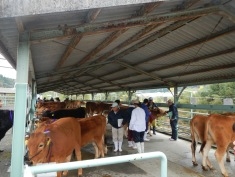 Cows entered in the local cattle show - mostly a special breed called Tosa Red Cows