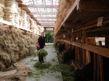 Feeding the cows fresh cut greens