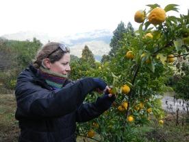 Collecting yuzu citrus