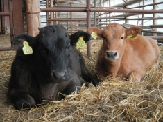 Two of the youngest cows born on the farm