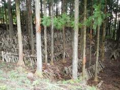 Huge shiitake mushroom growing area