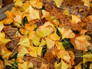Ginkgo leaf carpet