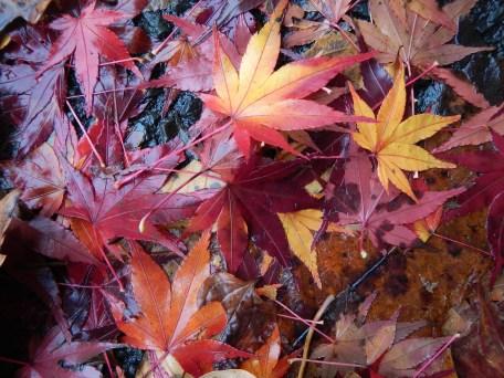 Maple carpet