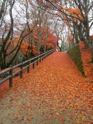 Maple leaf-covered path (Ozekiyama park, Miyoshi)