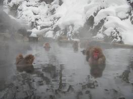 Jigokudani onsen monkeys