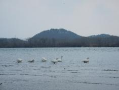 Swans in Sakata (Yamagata pref)